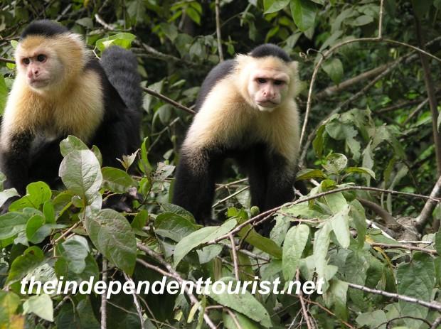 Monkey Island, Gatun Lake, Panama.
