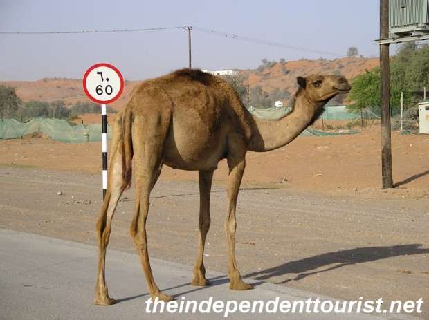 A camel on the road, he's not too worried about the speed limit.