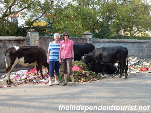 Cows grazing on the street in Jaipur.