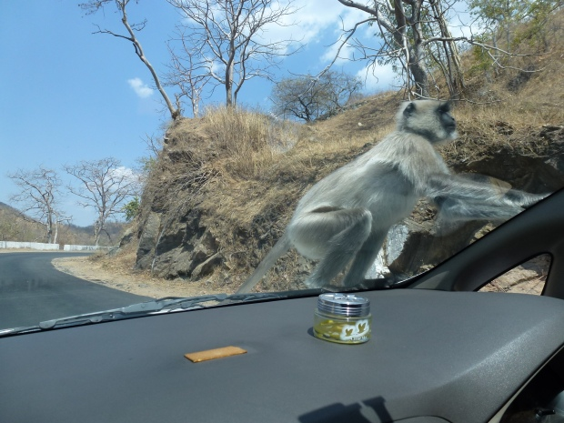 Monkeys jumping on our car as we drove up to Ranakpur!
