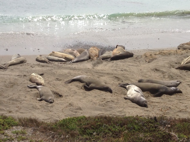 Elephant seals on the beach just north of Hearst Castle.