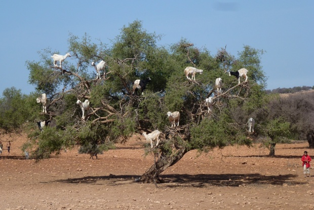 Goats in Trees (2)