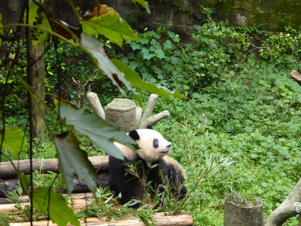 Panda, Chongqing Zoo, China