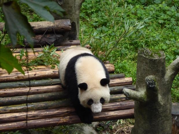 Panda bear, Chongqing, China