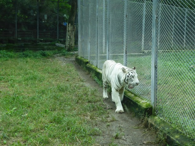 White tiger, Chongqing Zoo, China