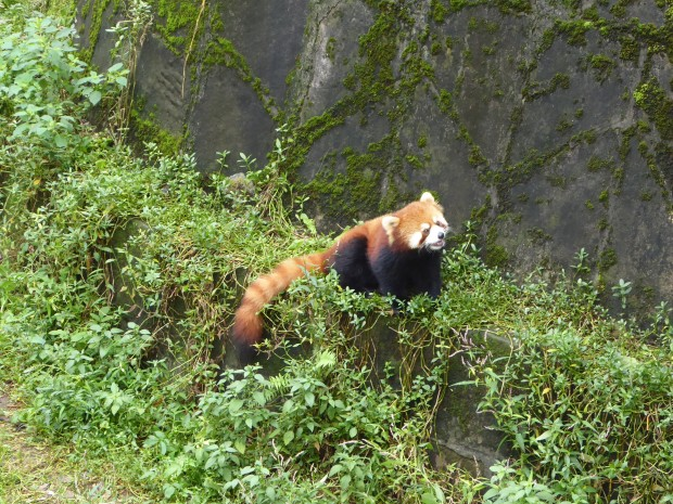 Red panda, Chongqing Zoo, China